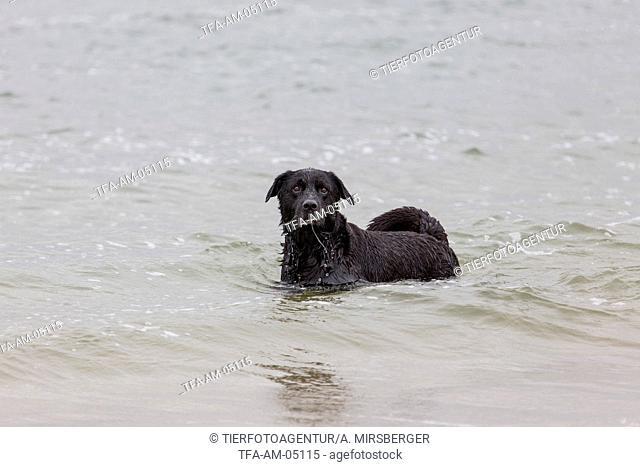 bathing Labrador Retriever