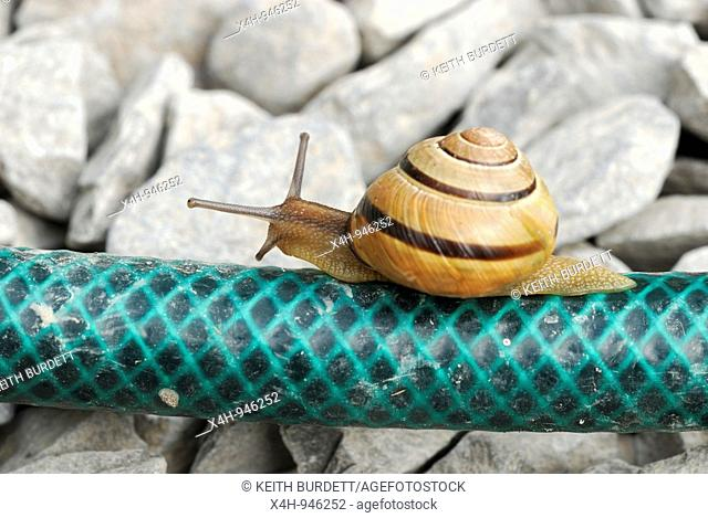 Dark Lipped Banded Snail, Cepaea nemoralis crawling along a garden hosepipe, Wales