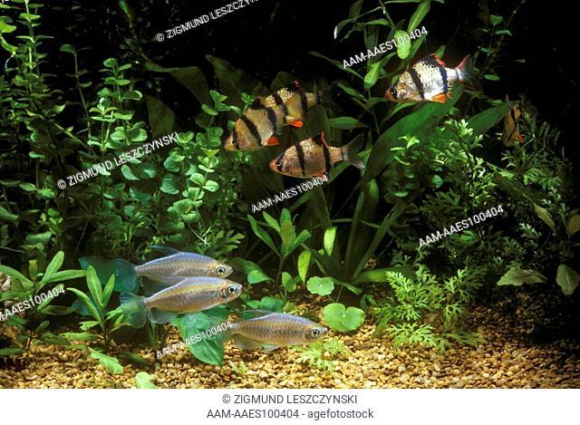 Freshwater Aquarium w/ Congo Tetras & Tiger Barbs