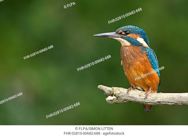Common Kingfisher Alcedo atthis immature female, perched on branch, Norfolk, England, august