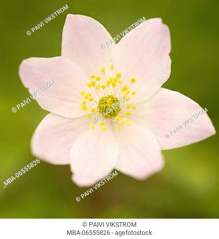 Close-up of Wood Anemone, Anemone nemorosa