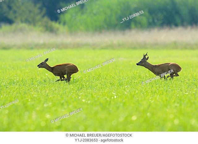Roebuck and Doe at Rutting season, Capreolus capreolus, Hesse, Germany, Europe