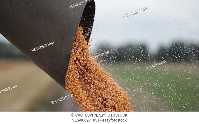 Unloading a bumper crop of corn after harvest