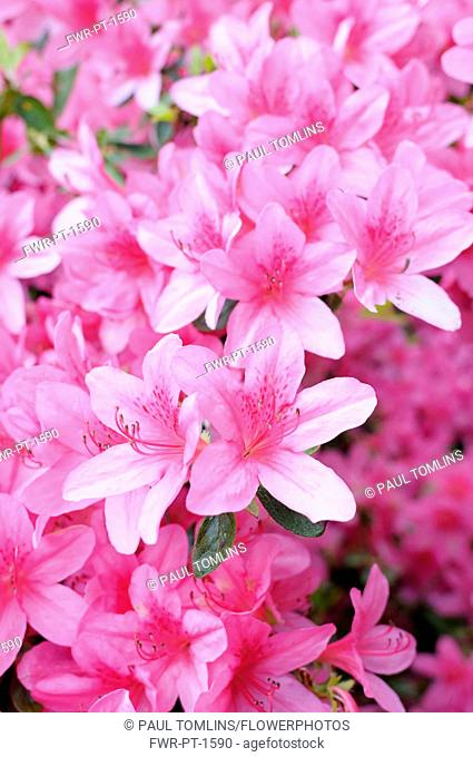 Rhododendron, Rhododendron 'Pekoe', Mass of pink coloured flowers growing outdoor
