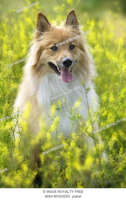 Tan and white, long haired mixed Breed Dog seated in yellow alfalfa, Canada, Alberta