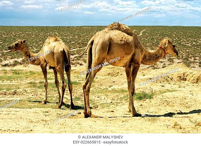 Small camels