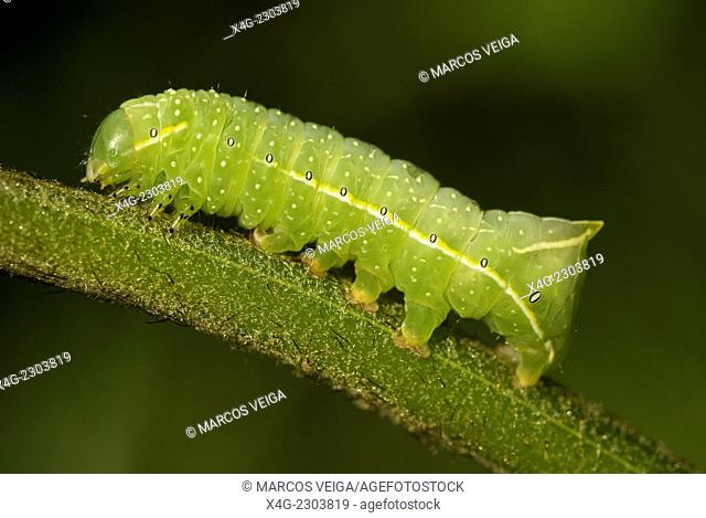 Copper Underwing, Humped Green Fruitworm, or Pyramidal Green Fruitworm larva (Amphipyra pyramidea)