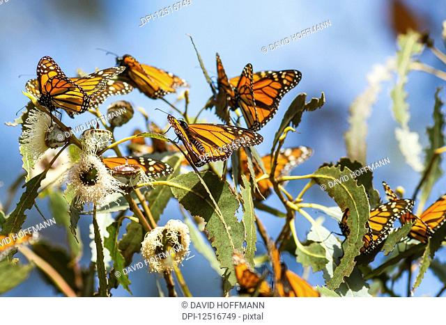 Monarch Butterflies (Danaus plexippus) sitting on leaves, Pismo Beach, California, United States of America