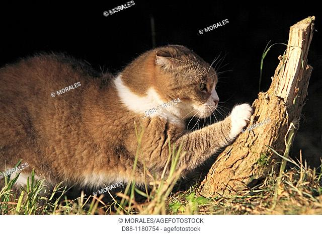 Scottish Fold  Single fold  Felis silvestris catus
