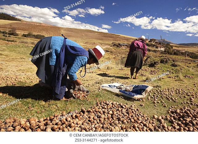 Indigenous women of Sacred Valley picking and squashing potatoes with their feet, Cusco Region, Peru, South America