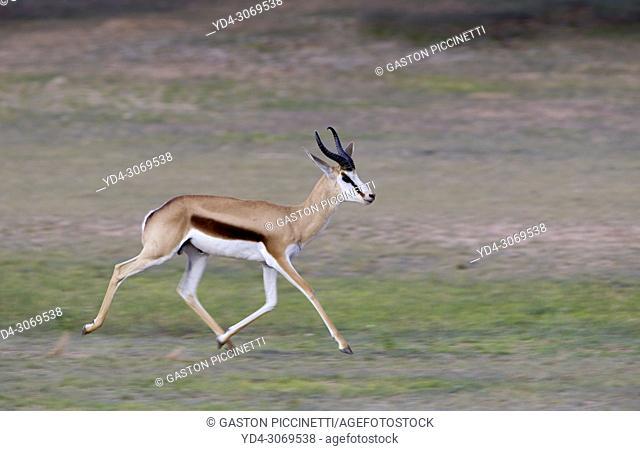 Springbok (Antidorcas marsupialis) -Male, Kgalagadi Transfrontier Park, Kalahari desert, South Africa/Botswana