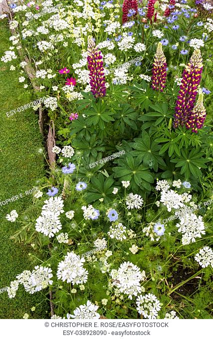 Colourful summer UK cottage garden border with lupins