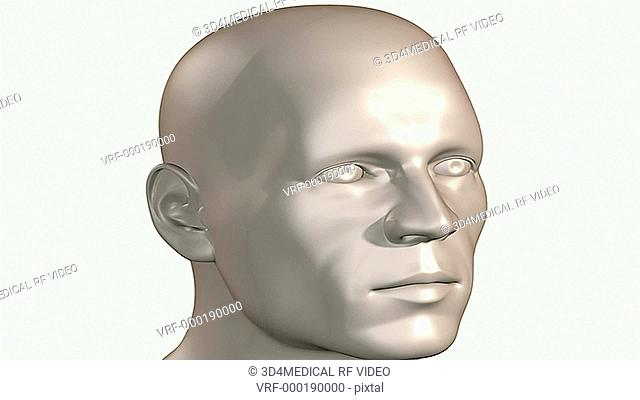 An animation of the skull. the camera zooms in to show the skull relative to the surface anatomy of the body and the nerves of the head