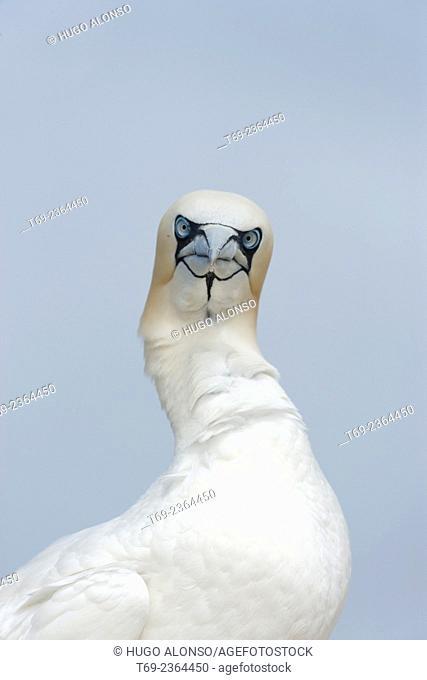 Northern gannet Morus bassanus headshot. Ireland
