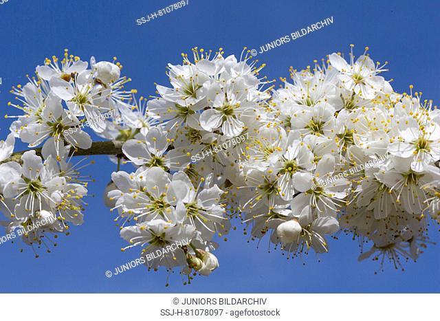 Blackthorn, Sloe (Prunus spinosa), flowering twig. Germany