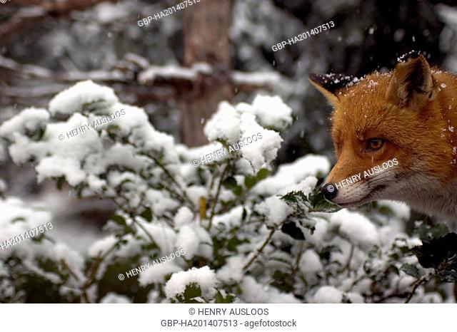 Red Fox (Vulpes vulpes) in winter - February 2005