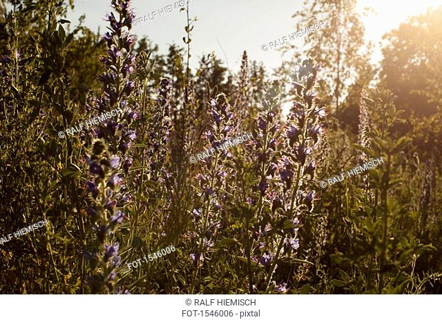 Purple flowering plants blooming on field during sunny day
