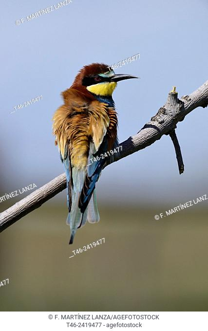 European bee-eater Merops apiaster Photographed at the Southwest Regional Park Madrid