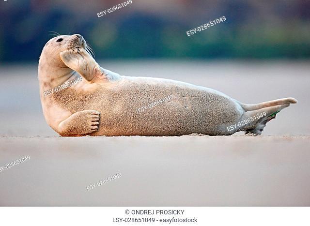 Atlantic Grey Seal, Halichoerus grypus