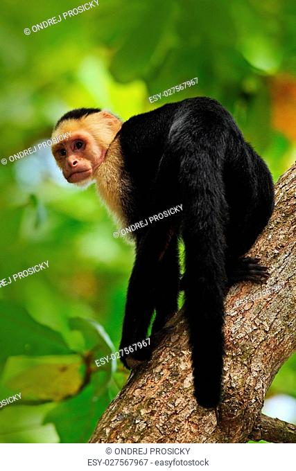 Black monkey White-headed Capuchin sitting on the tree branch