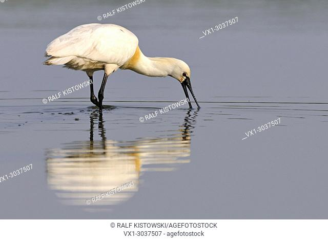 Eurasian Spoonbill ( Platalea leucorodia ) wading through shallow water, sweeping the partly opened bill from side to side, wildlife, Europe