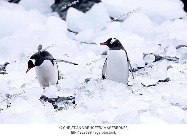 Gentoo penguins (Pygoscelis papua) between ice and stones, Antarctic Peninsula, Antarctica