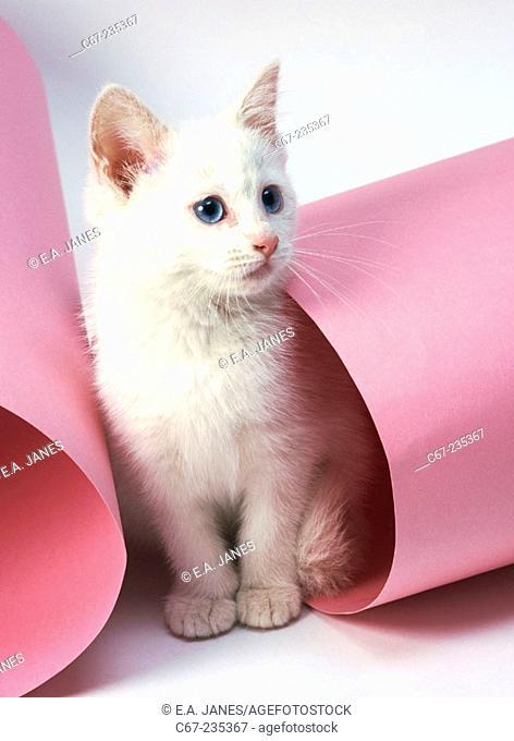Turkish angora kitten at 10 weeks old