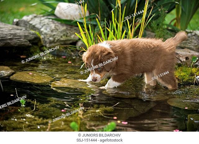 Australian Shepherd dog - puppy standing in water restrictions: animal guidebooks, calendars