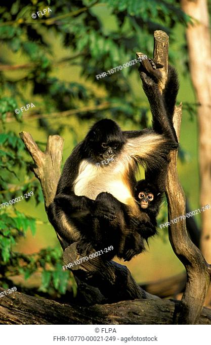 Geoffroy's Spider Monkey Ateles geoffroyi Sitting between branches with baby S