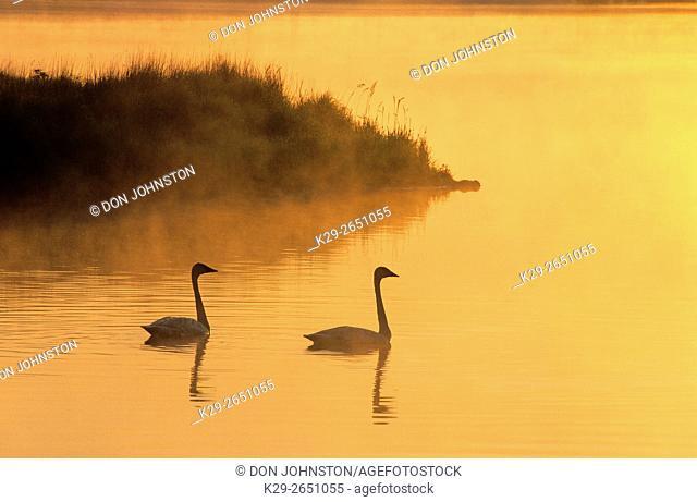 Trumpeter swan (Cygnus buccinator), Sudbury, Ontario, Canada