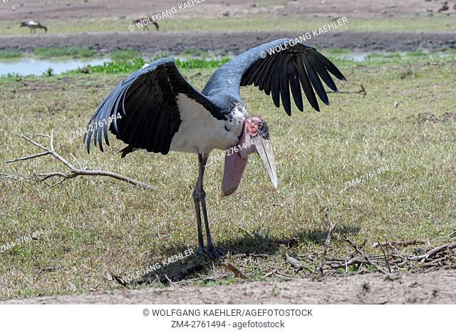 A Marabou stork (Leptoptilos crumenifer) is spreading its wings to cool down in the Ol Pejeta Conservancy in Kenya
