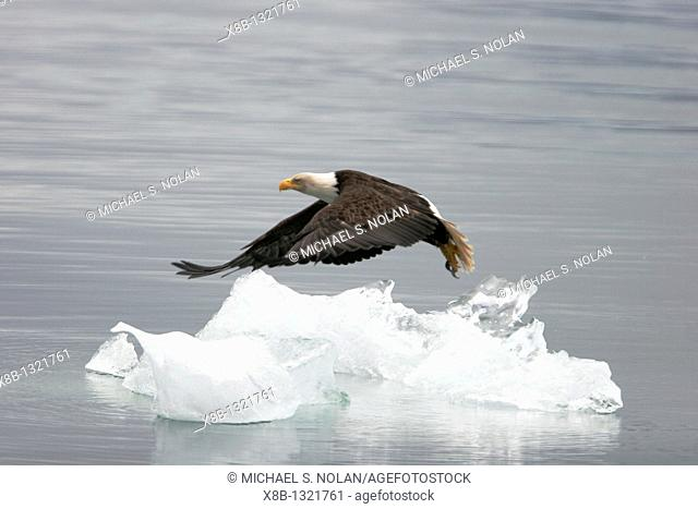 American Bald Eagle Haliaeetus leucocephalus taking off from an iceberg that calved off LeConte Glacier just outside Petersburg in Southeast Alaska