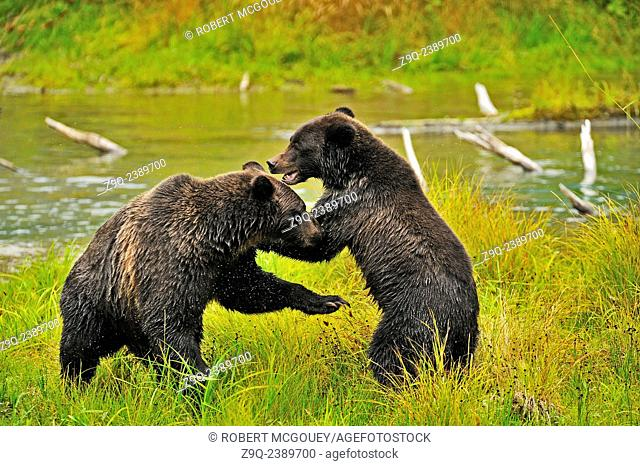 Mother and cub grizzly bears Ursus arctos, being playfully aggressive at Fish Creek in the Tongass National Forest of south west Alaska near the town of Hyder