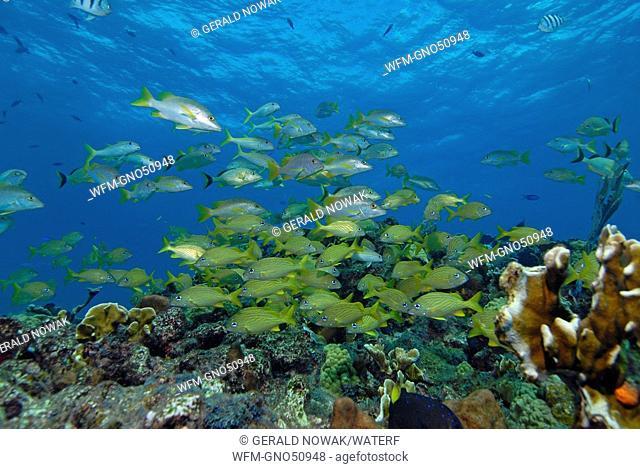 Shoal of Snapper and Grunts, Lutjanus, Haemulon, Isla Mujeres, Yucatan Peninsula, Caribbean Sea, Mexico