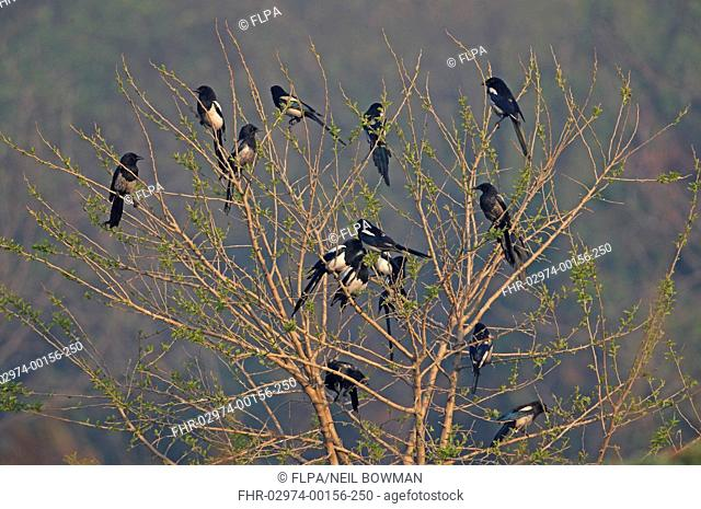 Common Magpie Pica pica sericea flock, some with sooty plumage from entering chimneys, perched in tree, Beidaihe, Hebei, China, may