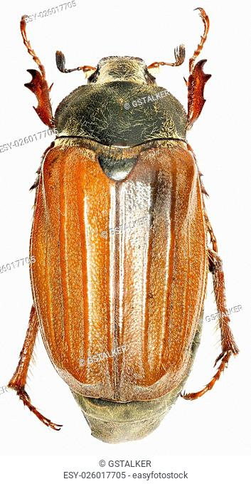 European cockchafer on white Background - Melolontha melolontha (Linnaeus, 1758)