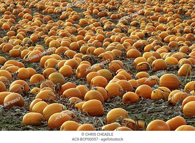 Farm field with ripe pumpkins, Vancouver Island, British Columbia, Canada