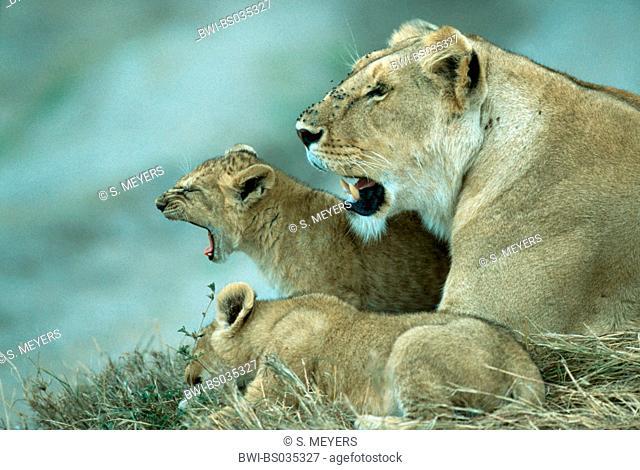 lion (Panthera leo), lioness with kittens, Kenya, Masai Mara National Park