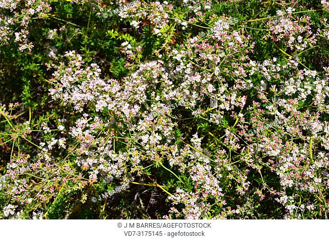 California buckwheat or Mojave buckwheat (Eriogon fasciculatum) is a shrub native to southwest USA and northwest Mexico