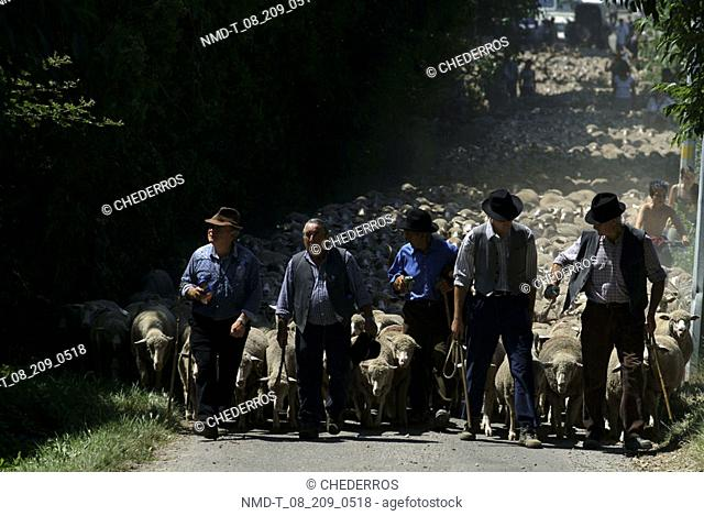 Shepherds with a flock of sheep walking on the road, Provence, France