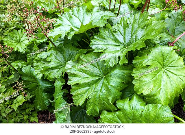 Darmera peltata, indian rhubarb or umbrella plant, fresh new big leaves and fading flowers