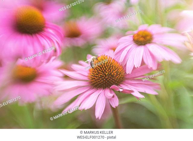 Germany, Bumblebee, Bombus, on a blossom of purple coneflower, Echinacea purpurea