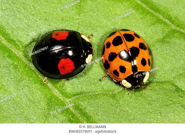 multicoloured Asian beetle (Harmonia axyridis), two colour morphs on a leaf, Germany