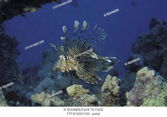 Red Turkeyfish