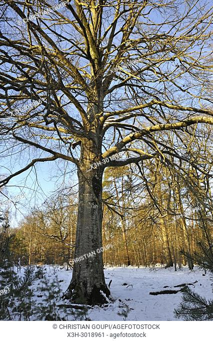 remarkable beech tree in the Forest of Rambouillet covered with snow, Haute Vallee de Chevreuse Regional Natural Park, Yvelines department, Ile de France region
