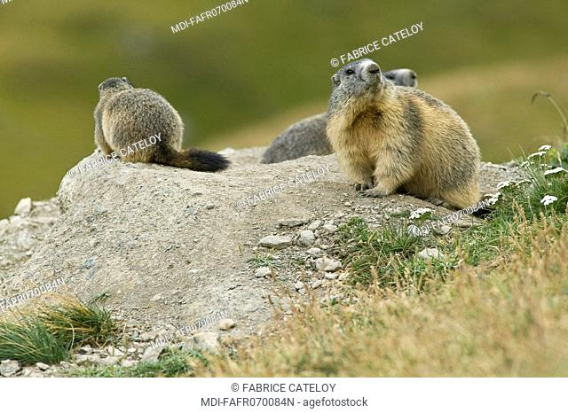 Family of marmots at the entry of their burrow in the natural regional park of Queyras