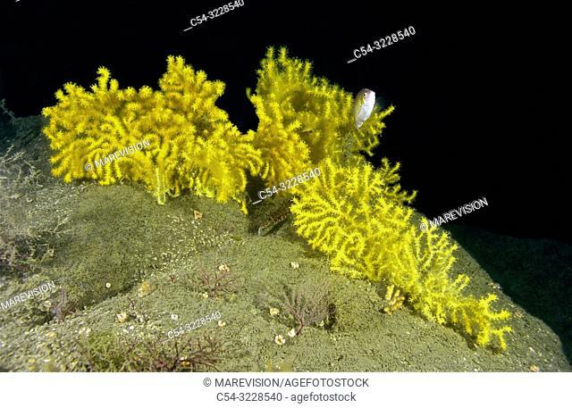 Sea fan (Paramuricea grayi). Eastern Atlantic. Galicia. Spain. Europe