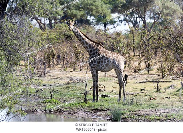 Southern giraffe (Giraffa camelopardalis), Khwai Concession, Okavango Delta, Botswana, Africa