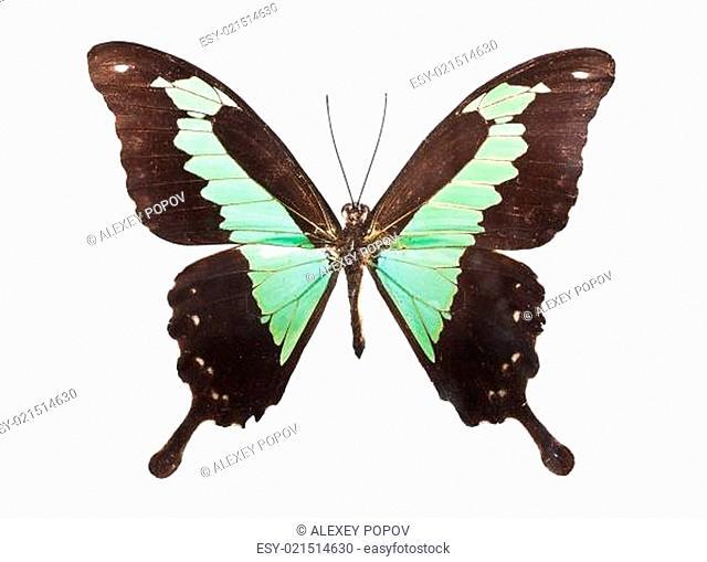 Butterfly Papilio Palinurus