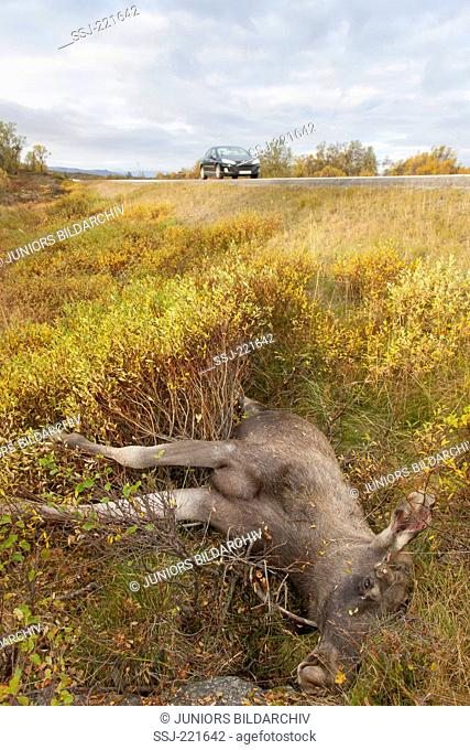 Moose, elk (Alces alces), roadkill at the side of a highway, Oppland, Norway